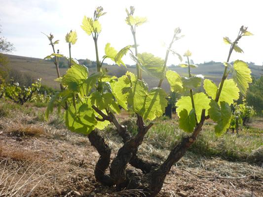 La vigne pousse au domaine !