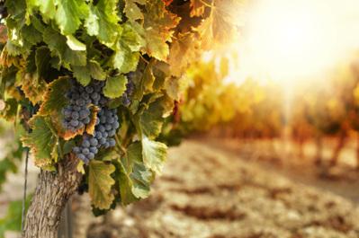 Des vins beaujolais écologiques